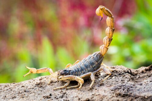 scorpione giallo con il pungiglione pronto a colpire