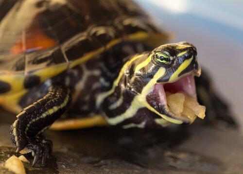 tartaruga acquatica che mangia