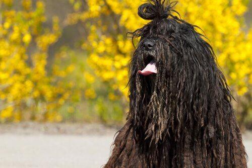 Bergamasco, il cane da pastore delle Alpi