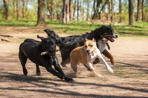 tre cani giocano a correre in un parco