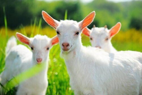 La corretta alimentazione delle capre