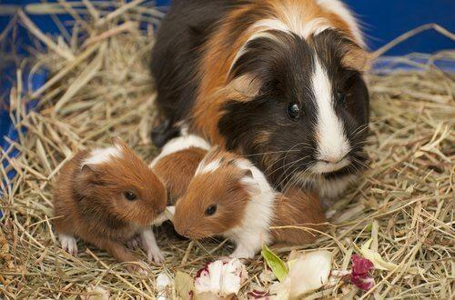 Cuccioli di porcellino d'india con la mamma