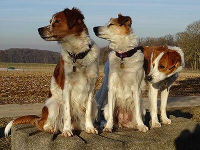 Tre giovani esemplari di Kromfohrlander