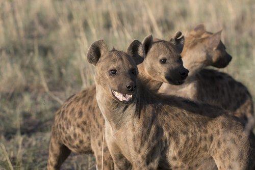 tre giovani iene nella savana
