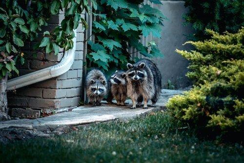 tre procioni camminano accanto a una casa