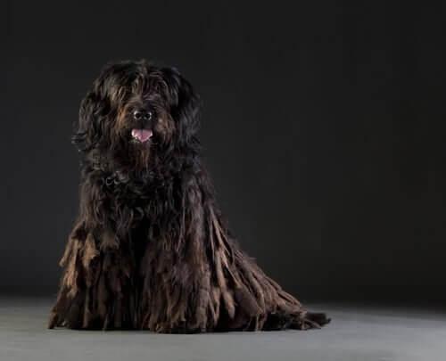 un Cane da pastore bergamasco nero seduto
