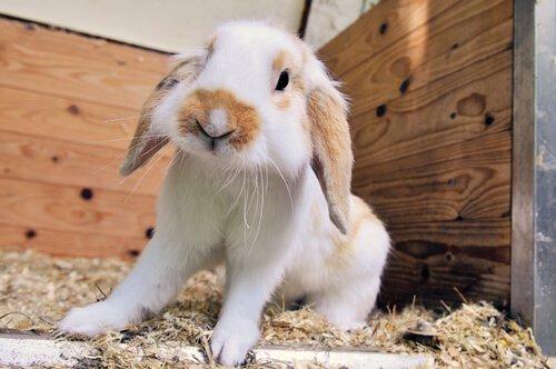Coniglio ariete nano in piedi nella sua gabbia