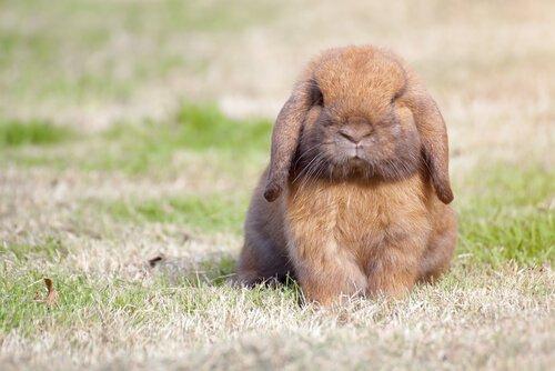 Coniglio ariete nano seduto su un prato