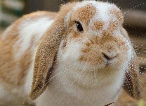 Coniglio ariete nano, un animale domestico dolcissimo