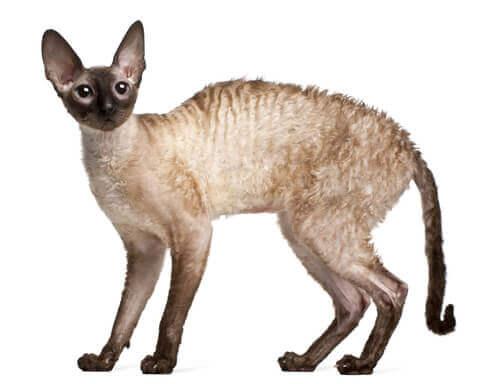Cornish Rex, uno dei gatti più affettuosi al mondo