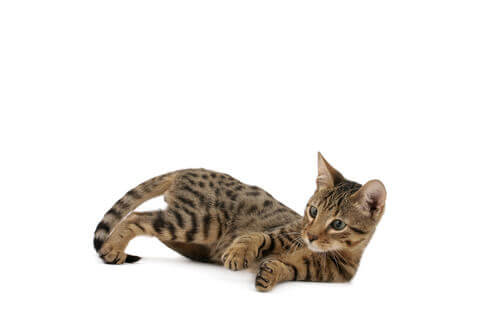un Gatto Serengeti gioca di lato sdraiato