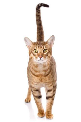 Gatto Serengeti, un gatto dall'aspetto selvaggio