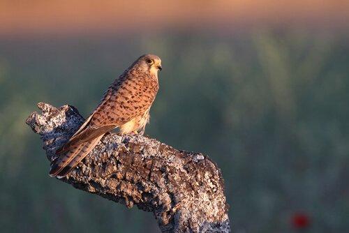 Gheppio, il piccolo falco dalle ali a ventaglio