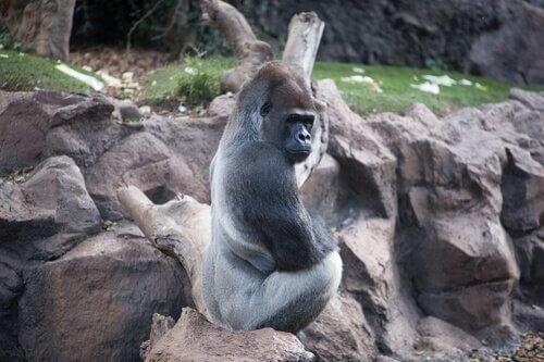 un Gorilla occidentale di spalle davanti a una scogliera