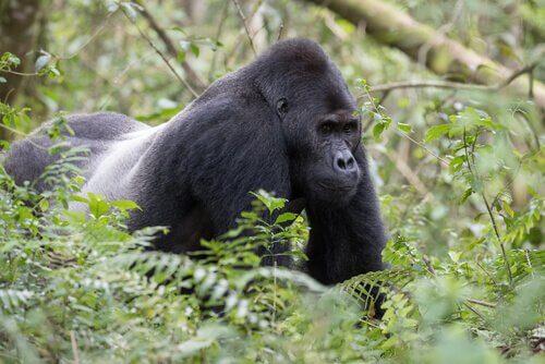 un Gorilla occidentale nascosto tra l'erba alta