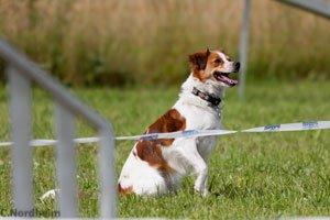 Kromfohrlander, una razza canina giovane e amichevole