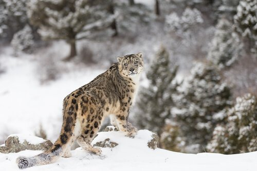 Leopardo delle nevi: caratteristiche, comportamento e habitat