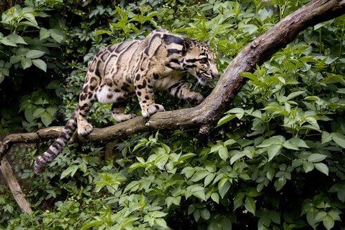 Leopardo nebuloso cammina su un ramo nella giungla