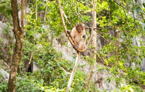 un Macaco cinomolgo seduto su una liana con un frutto in mano