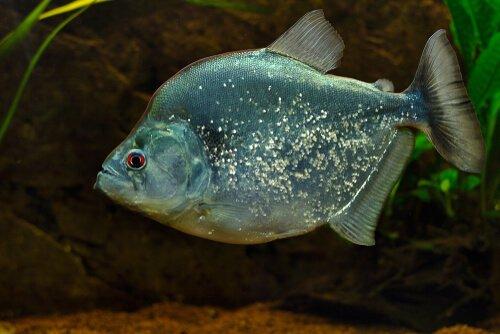 un Piranha iridescente