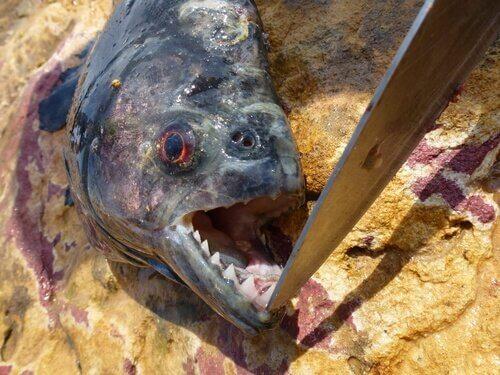un Piranha con la bocca aperta da un coltello