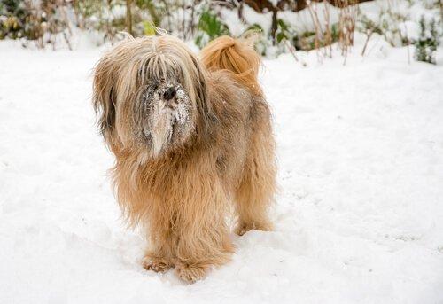 un Tibetan Terrier in piedi sulla neve