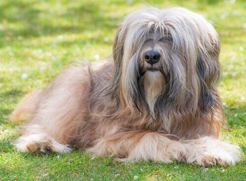 Tibetan Terrier: dai templi buddisti alle vostre case