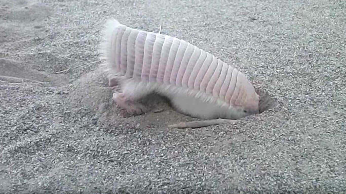 un armadillo rosa scava il terreno