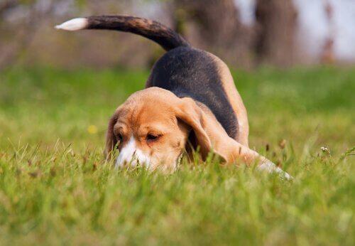 Beagle annusa una traccia nell'erba