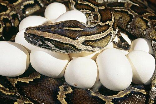 L'istinto materno nei serpenti