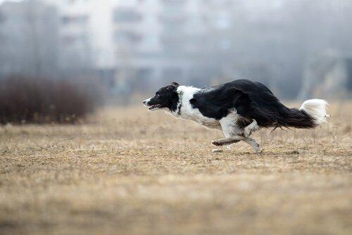 Border collie corre a tutta velocità sul terreno