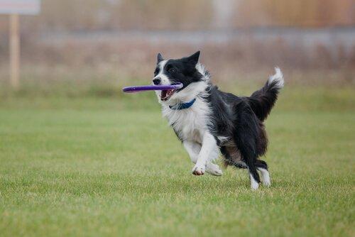Border collie mentre riporta un frisbee al padrone
