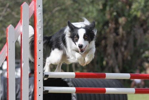 Fare agility con il vostro border collie