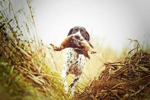 I diversi tipi di cani da caccia