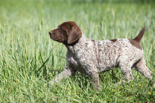 Cucciolo di bracco tedesco tra erba alta