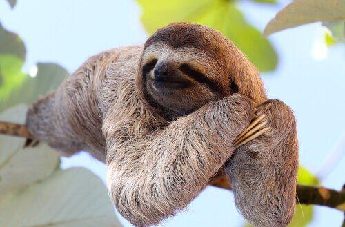 un bradipo appoggiato su un ramo