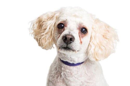 Perché i cani hanno macchie sotto gli occhi?