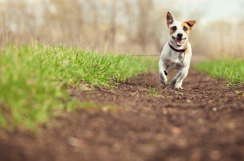 Cane corre su prato sterrato