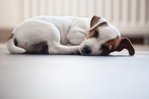 Jack Russel dorme tranquillo di lato