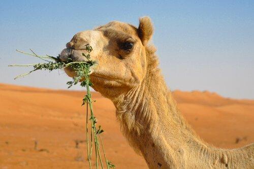 Curiosità sull'alimentazione del cammello