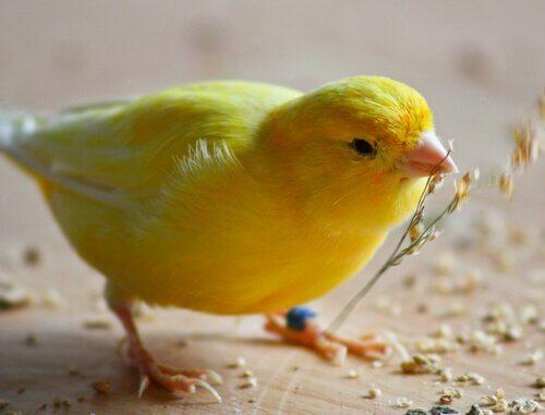 Consigli di base per nutrire un canarino