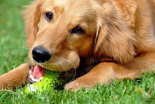 un cane grande morde un giocattolo verde