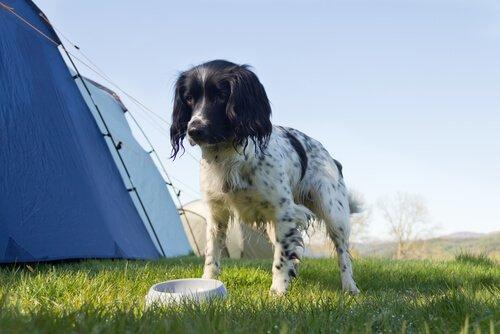setter inglese bianco e nero con ciotola vicino a tenda da campeggio