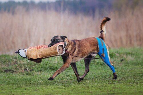 un cane mentre porta un oggetto spugnoso di addestramento