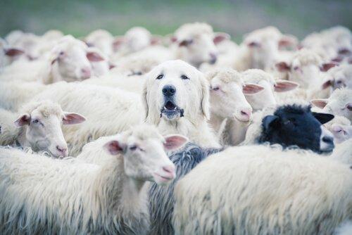 Cane pastore bianco nascosto nel gregge