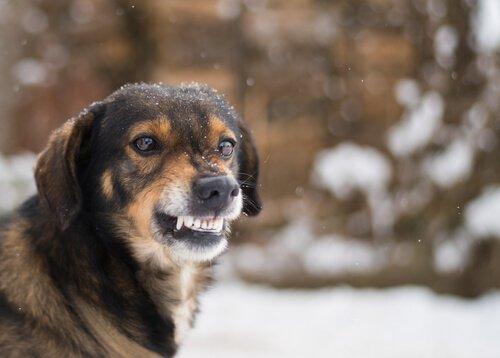 un cane randagio digrigna i denti nella neve