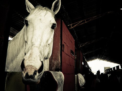 un cavallo bianco spunta con la testa dalla stalla