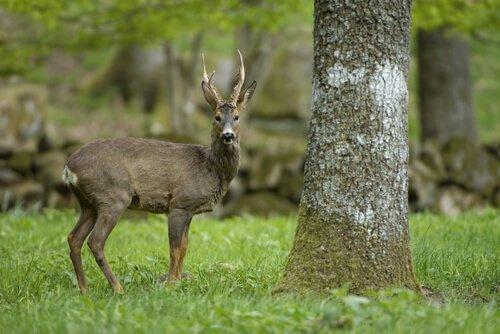 un cervo in un bosco accanto a un albero