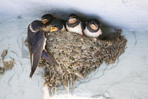 un classico nido di Rondine sotto un tetto