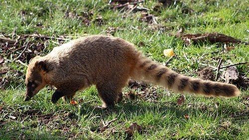 un coati dalla coda striata cerca insetti da mangiare